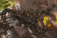 サソリに群がり殺すバーチェルグンタイアリ
