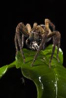 獲物を捕まえたドクシボグモ属の一種