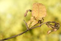 葉に擬態をするオオコノハムシ 01543047673| 写真素材・ストックフォト・画像・イラスト素材|アマナイメージズ