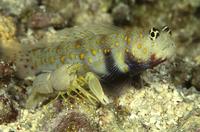 巣穴を共有するヤマブキハゼとファインストライプトシュリンプ 01543047694| 写真素材・ストックフォト・画像・イラスト素材|アマナイメージズ