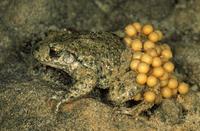 抱卵するサンバガエルのオス