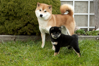 柴犬の親子 01543047825| 写真素材・ストックフォト・画像・イラスト素材|アマナイメージズ