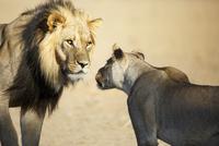 ライオンのオスとメス
