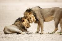 ライオンのオス