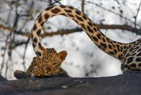 ヒョウの母子