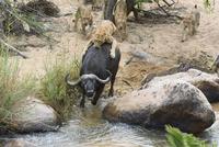 アフリカスイギュウを狩るライオンのメス