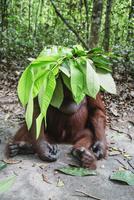 ボルネオオランウータンのメス 01543047997| 写真素材・ストックフォト・画像・イラスト素材|アマナイメージズ