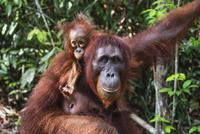 ボルネオオランウータンの母子