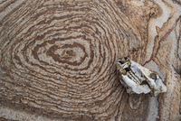 クビワペッカリーの頭蓋骨と岩