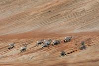 オオツノヒツジの群れ