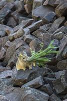 アメリカナキウサギ