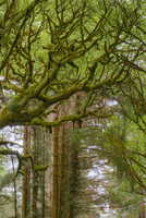 セコイアメスギとコナラ 01543048094| 写真素材・ストックフォト・画像・イラスト素材|アマナイメージズ