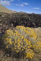 低木の花と溶岩