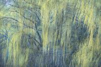 早春のヤナギの枝