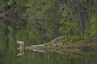 湖岸のタイリクオオカミ 01543048265| 写真素材・ストックフォト・画像・イラスト素材|アマナイメージズ