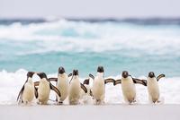 イワトビペンギン 01543048541| 写真素材・ストックフォト・画像・イラスト素材|アマナイメージズ