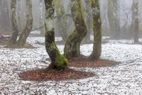 ヨーロッパブナの森