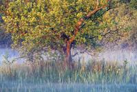 朝霧とコナラ 01543048546| 写真素材・ストックフォト・画像・イラスト素材|アマナイメージズ