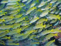 ブルーアンドゴールドスナッパーの群れ 01543048582| 写真素材・ストックフォト・画像・イラスト素材|アマナイメージズ