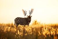 サバンナシマウマの上でケンカするアマサギ 01543048599| 写真素材・ストックフォト・画像・イラスト素材|アマナイメージズ