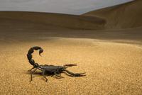 キョクトウサソリ科の一種