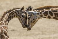 ウガンダキリン 01543048711  写真素材・ストックフォト・画像・イラスト素材 アマナイメージズ