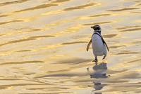 マゼランペンギン 01543048740| 写真素材・ストックフォト・画像・イラスト素材|アマナイメージズ