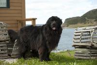 ニューファンドランドのオス 01543049053  写真素材・ストックフォト・画像・イラスト素材 アマナイメージズ