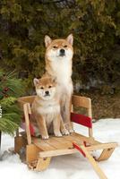 柴犬の親子 01543049162| 写真素材・ストックフォト・画像・イラスト素材|アマナイメージズ