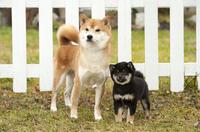 柴犬の親子 01543049163| 写真素材・ストックフォト・画像・イラスト素材|アマナイメージズ