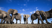 アフリカゾウの群れ 01543049216| 写真素材・ストックフォト・画像・イラスト素材|アマナイメージズ