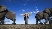 アフリカゾウ 01543049217| 写真素材・ストックフォト・画像・イラスト素材|アマナイメージズ