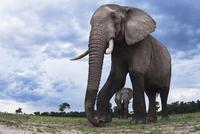 アフリカゾウ 01543049220| 写真素材・ストックフォト・画像・イラスト素材|アマナイメージズ