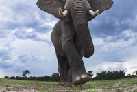 アフリカゾウ 01543049222| 写真素材・ストックフォト・画像・イラスト素材|アマナイメージズ