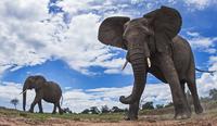 アフリカゾウ 01543049223| 写真素材・ストックフォト・画像・イラスト素材|アマナイメージズ