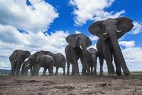 アフリカゾウの群れ 01543049224| 写真素材・ストックフォト・画像・イラスト素材|アマナイメージズ