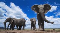 アフリカゾウの群れ 01543049225| 写真素材・ストックフォト・画像・イラスト素材|アマナイメージズ
