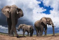 アフリカゾウの群れ 01543049232| 写真素材・ストックフォト・画像・イラスト素材|アマナイメージズ