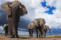 アフリカゾウの群れ 01543049233| 写真素材・ストックフォト・画像・イラスト素材|アマナイメージズ