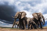 アフリカゾウの群れ 01543049234| 写真素材・ストックフォト・画像・イラスト素材|アマナイメージズ