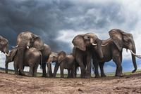 アフリカゾウの群れ 01543049235| 写真素材・ストックフォト・画像・イラスト素材|アマナイメージズ