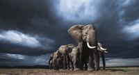 アフリカゾウの群れ 01543049236| 写真素材・ストックフォト・画像・イラスト素材|アマナイメージズ