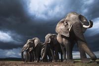 アフリカゾウの群れ 01543049237| 写真素材・ストックフォト・画像・イラスト素材|アマナイメージズ