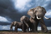 アフリカゾウの群れ 01543049238| 写真素材・ストックフォト・画像・イラスト素材|アマナイメージズ