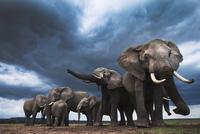 アフリカゾウの群れ 01543049239| 写真素材・ストックフォト・画像・イラスト素材|アマナイメージズ