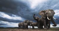 アフリカゾウの群れ 01543049240| 写真素材・ストックフォト・画像・イラスト素材|アマナイメージズ