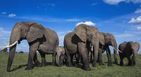 アフリカゾウの群れ 01543049248| 写真素材・ストックフォト・画像・イラスト素材|アマナイメージズ
