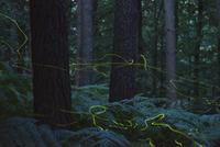 ホタルのなかま 01543049285| 写真素材・ストックフォト・画像・イラスト素材|アマナイメージズ