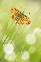ヒョウモンチョウのなかま 01543049356| 写真素材・ストックフォト・画像・イラスト素材|アマナイメージズ