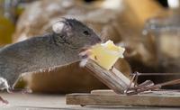 囮のチーズを食べるハツカネズミ